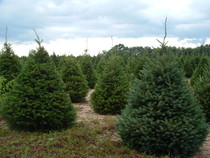 Guse Christmas Trees - Tree Types Available